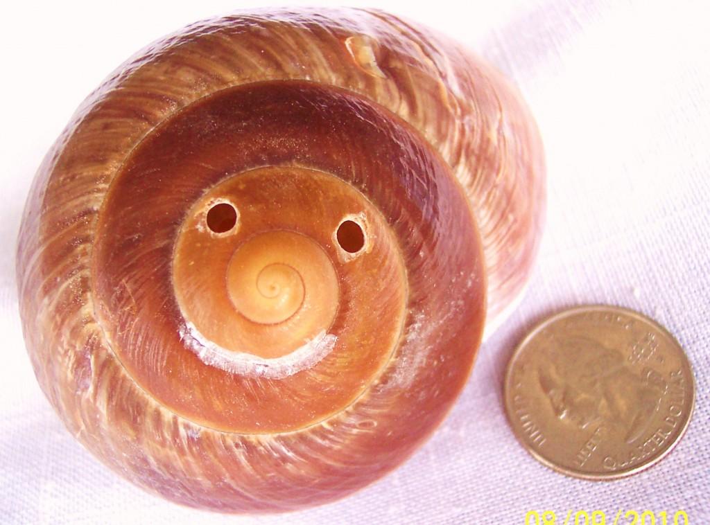 muffin shell hoot 003